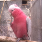 roza 4