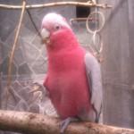 roza 5